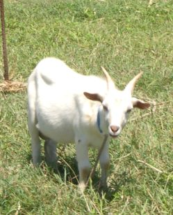 ヤギの画像 p1_2