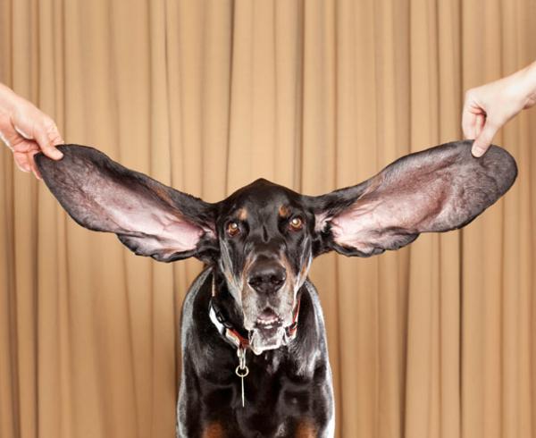 長い耳の犬